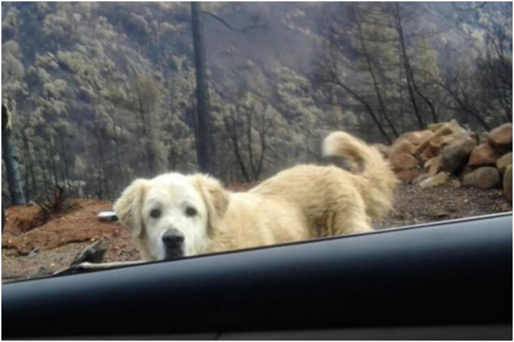 Dog Guarding Home After California Fires