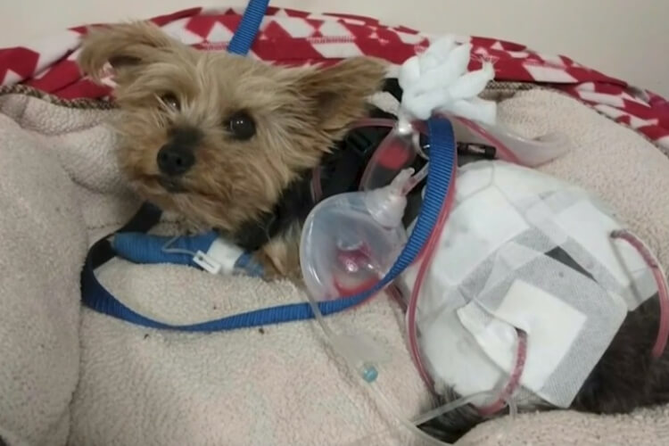 Family Yorkie Saves Little Child From Coyote