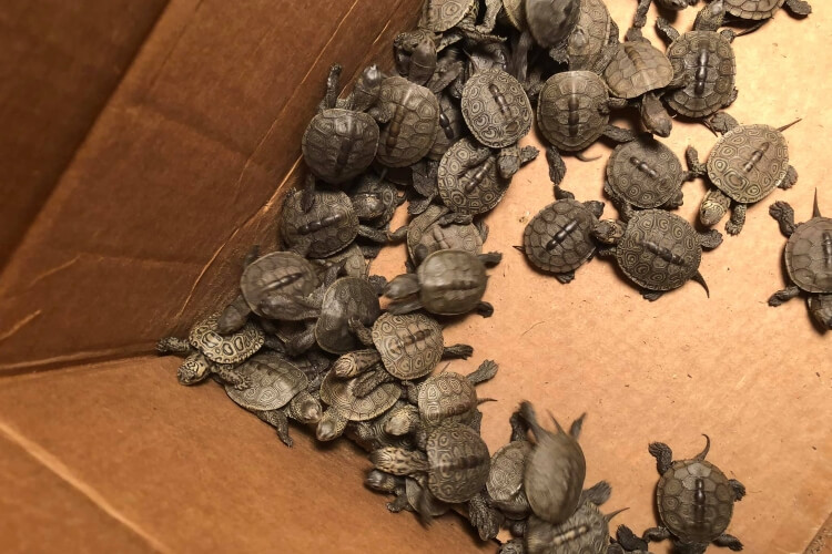 More Than 800 Turtles Rescued From Storm Drains