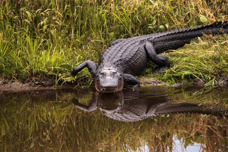 Texas Father Saves Son Daughter Babysitter from Alligator