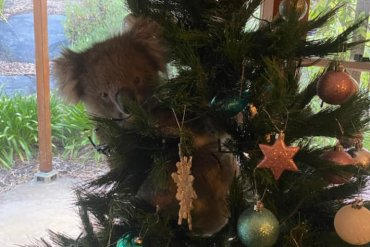 Koala Bear Hiding In Christmas Tree