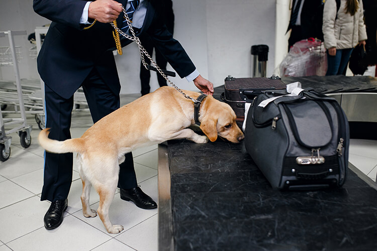 Dogs Are Learning To Sniff Out Coronavirus